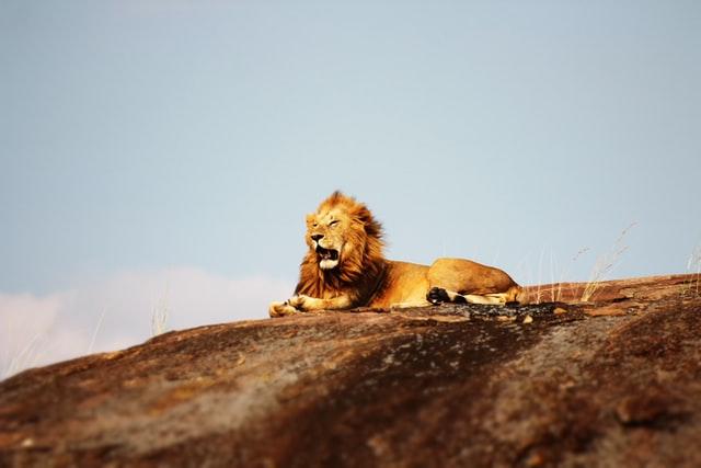 Hoe heet een kruising tussen een leeuw en een tijger